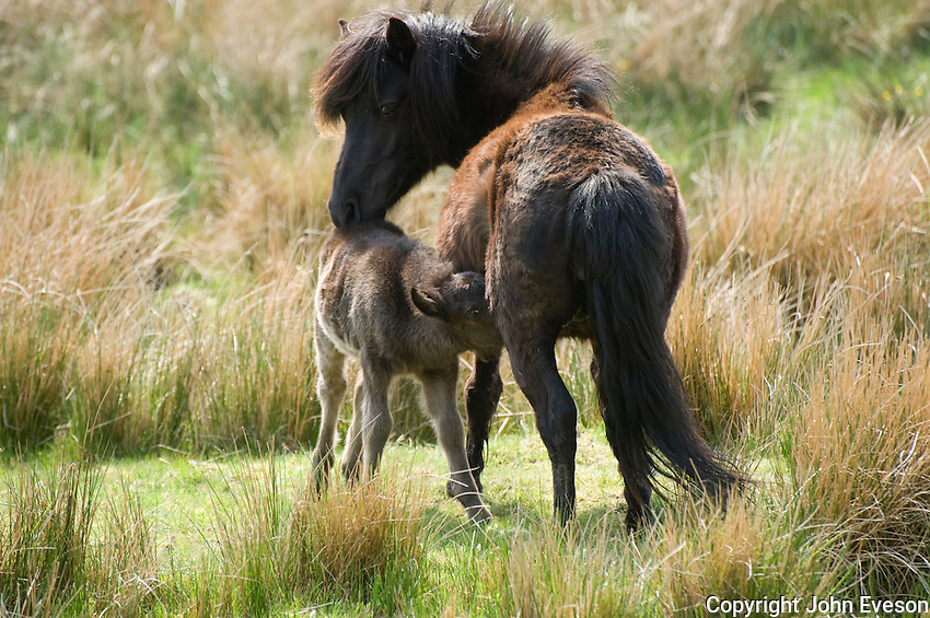 Shetland pony and foal suckling near Carsphairn, Ayrshire, Scotland.