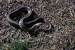 A Garter snake moves through newly sprouted grasses on a wet hillside in Jamaica Vermont. (genus: Thamnophis)