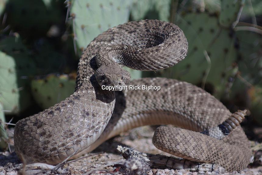 Western Diamondback Rattlesnake seen coiled and ready to strike, in southern Arizona's, Saguaro National Park.