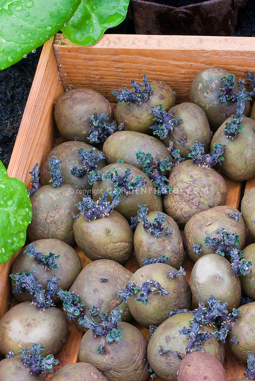 Potatoes Home Guard (sprouting) vegetable
