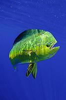 mahi mahi, dorado or dolphinfish, Coryphaena hippurus, Florida coast, USA, Atlantic Ocean