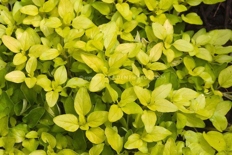 Golden Oregano herb Origanum, Origanum vulgare 'Aureum'