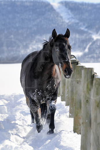 Black horse walking along fence in deep white winter snow, looking at camera, front view close up, Pennsylvania, PA, USA.