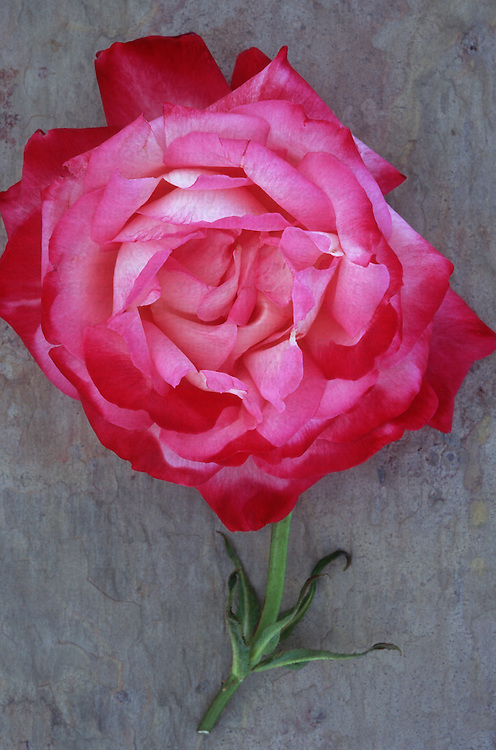Single pink and white bloom of Rose or Rosa Gaujard or Gaumo lying with its stem on marbled slate with pink tone