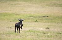 Wildebeest, Connochaetes taurinus, in Maasai Mara National Reserve, Kenya