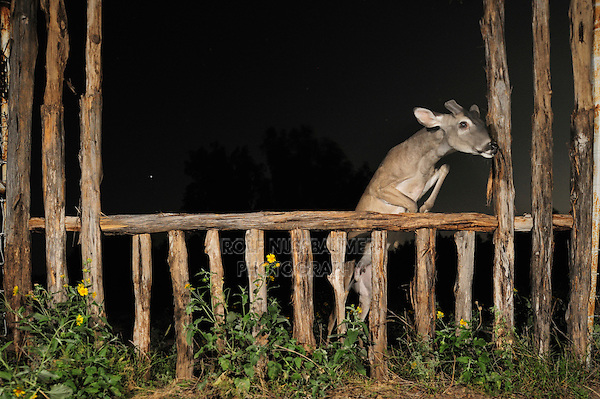 White-tailed Deer (Odocoileus virginianus), buck at night jumping fence, Laredo, Webb County, South Texas, USA