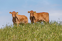 Cattle grazing on a sea bank - Lincolnshire, June