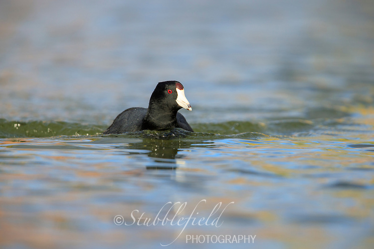 American Coot (Fulica americana americana), adult swimming in a lake at Papago Park in Phoenix, Arizona.