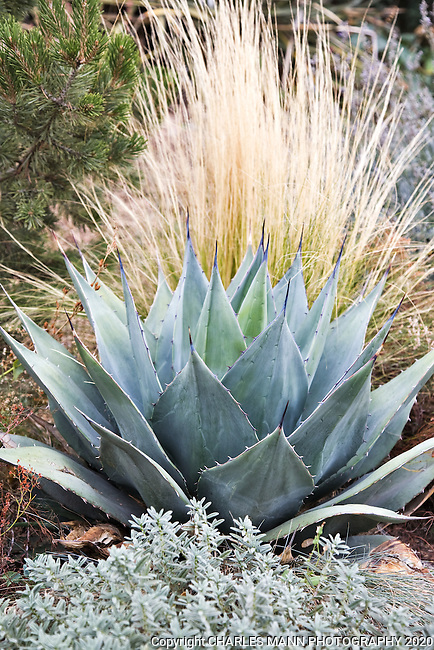 A gray leaved Agave parryii is accented by the fall foliage of a Mexican Feather Grass in an arrangement created by Dan Johnson for the Xeric Border at the Denver Botanic Garden