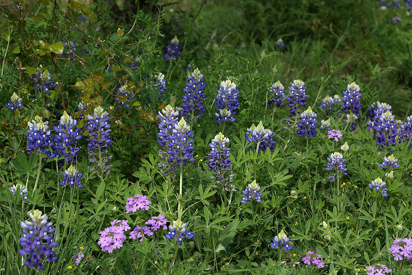 Mix of Bluebonnet, Verbena, and Yellow Wood Sorrel Wildflowers.