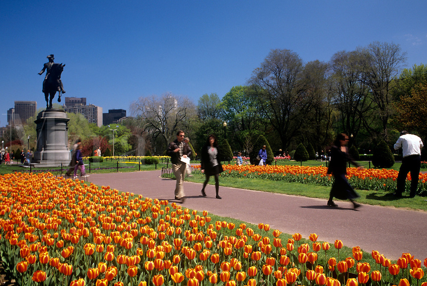 Tulips blooming in Boston Public Gardens