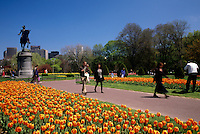 Tulips blooming in Boston Public Gardens