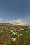 Israel, the Lower Galilee. Narcissus flowers in Beth Natofa valley