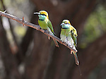 Yala National Park Sri Lanka<br /> Little-Green Bee-Eater