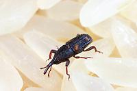 Reiskäfer, Reis-Kornkäfer, Sitophilus oryzae, Calandra oryzae, rice weevil, Le Charançon du riz. Vorratsschädling
