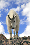 Getty Images exclusive, Mountain Goat (Oreamnos americanus) on the summit of Mount Evans (14250 feet), Rocky Mountains, west of Denver, Colorado, USA .  John leads private, wildlife photo tours throughout Colorado. Year-round.