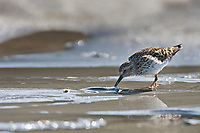 Western sandpipers feeds on the shores of Hartney Bay, Copper River Delta, Prince William Sound, Alaska, to refuel during their migration to summer nesting grounds.