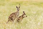 Eastern Grey Kangaroo (Macropus giganteus) mother and joey in grassland, Mount Taylor Nature Reserve, Canberra, Australian Capital Territory, Australia