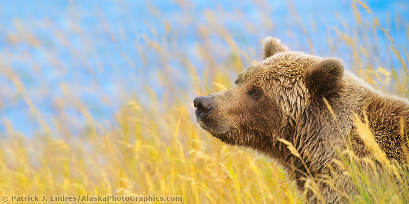 Panorama of brown bear in autumn grass, Katmai National Park, Alaska