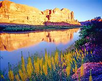Prince's Plume and Colorado River, near Moab, Utah, Stanleya pinnata, morning