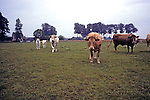 Cows Along Northern Coast