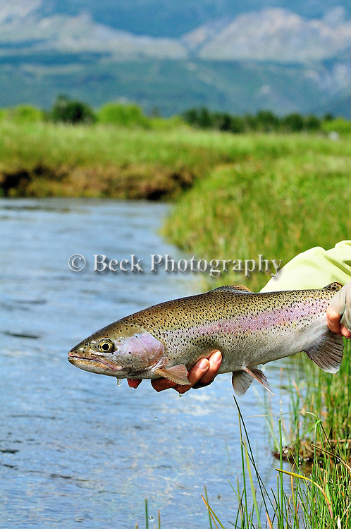 Spring Creek Rainbow