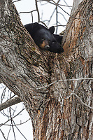 A black bear sow sits and sleeps high in a cottonwood tree at its den in the Anchorage area of southcentral  Alaska   spring <br /> <br /> Photo by Jeff Schultz (C) 2016  ALL RIGHTS RESERVED