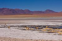 Guanaco in laguna verde (Green Lagoon) Bolivia