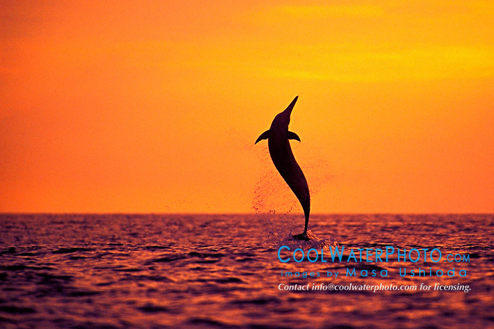 spinner dolphin, leaping at sunset, Stenella longirostris, Kona, Big Island, Hawaii, Pacific Ocean