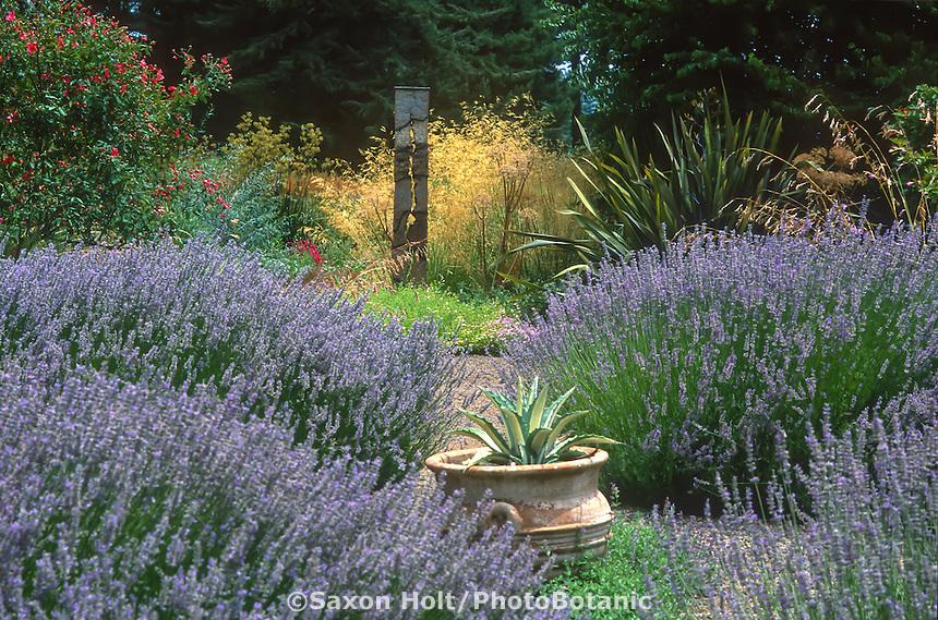 Lavender 'Provence'  in xeriscape drought tolerant garden with grass Stipa gigantea.