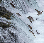 USA, Alaska, Katmai National Park, coho or silver salmon (Oncorhynchus kisutch)