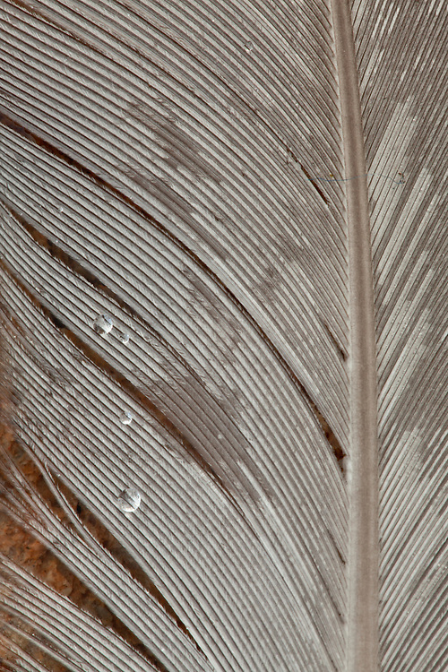 Rain drops on a seagull feather in Acadia National Park, Maine, USA