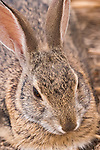 La Jolla, California; a tight head shot of a young brush rabbit resting in the shade