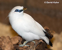 1113-0804  Bali Starling (Bali Mynah), Critically Endangered Bird, Leucopsar rothschildi © David Kuhn/Dwight Kuhn Photography