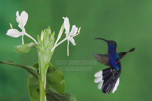 Violet Sabrewing, Campylopterus hemileucurus, male in flight feeding on White Ginger, December 2006