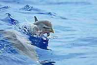 Pantropical Spotted Dolphin calf, wake-riding with mother, Stenella attenuata, off Kona Coast, Big Island, Hawaii, Pacific Ocean.