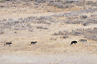Wild Yellowstone Gray Wolves (Canis lupus).  Here, adult, alpha female leads her three pups (about 6 months old).  Yellowstone National Park, October.