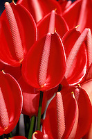 A close-up view of a bunch of calypso anthuriums (Anthurium andraeanum)