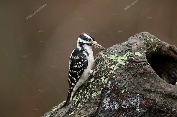 Hairy Woodpecker (Picoides villosus), male, on tree stump; Michigan