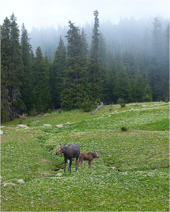 While returning from King Lake and the Continental Divide on a foggy morning, I noticed these two moose enjoying a quiet meadow. I stopped and captured a few images from this classic Colorado morning. The moose didn't seem to mind, but kept a watchful eye on my nonetheless.