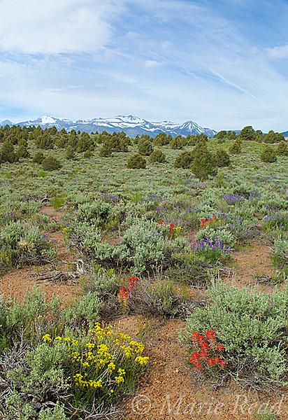 Sagebrush (Artemisia tridentata) scrub habitat with Lupine (Lupinus sp. ), Sulfur Flower (Eriogonum umbellatum, and Indian Paintbrush (Castilleja sp.) in bloom in June, Mono Lake Basin, California, USA