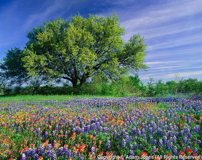 Live Oak, Quercus virginiana & Texas Paintbrush, Castilleja indivisa, Texas Bluebonnets, Lupinus texensis in Texas Hill Country.