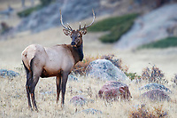 Rocky Mountain Elk (Cervus canadensis nelsoni), young male foraging in Rocky Mountain National Park, Colorado.