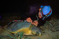 U. Queensland grad. student Jannie Bech Sperling measures carapace of Australian flatback sea turtle, Natator depressus, Curtis Island, Queensland, Australia