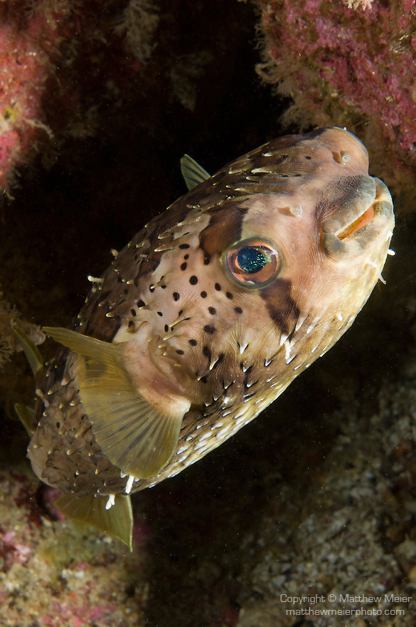 Sea of Cortez, Baja California, Mexico; a Balloonfish (Diodon holocanthus) hiding amongst the rocky reef
