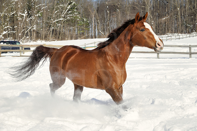 Horse running in deep powder snow and sunlight in a fenced field, a chestnut quarter horse mare in winter.
