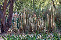 Cleistocactus strausii, Silver Torch Cactus in Sunnylands garden, Southern California