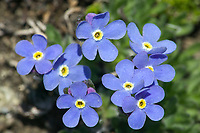 Alpine forget me not, Brooks Range mountains, Arctic National Wildlife Refuge, Alaska