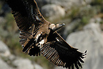 Adult Griffon Vulture braking in flight as it comes into land