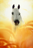 White Arabian stallion NABIEL with foxtail grass and yellow light.
